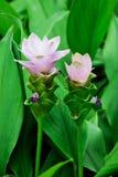 Siam tulip Stock Images