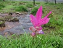 Siam Tulip bij het Nationale Park van Pahin Ngam Stock Afbeelding