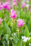 Siam tulip. Royalty Free Stock Photo