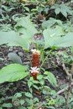 Siam Tulip (Curcuma alismatifolia) Stock Photos
