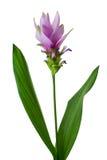 Siam Tulip Stock Photos