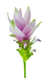 Siam Tulip Royalty Free Stock Photo