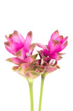 Siam tulip or Curcuma flower in Thailand. Siam tulip or Curcuma flower isolated on white background Stock Photo