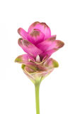 Siam tulip or Curcuma flower in Thailand Stock Image