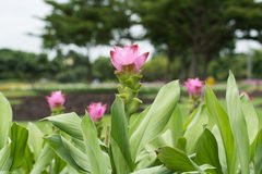 Siam Tulip. (Curcuma ) at Thailand royalty free stock images