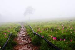 Siam Tulip-Feld mit einsamem Baum Stockfoto