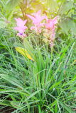 Siam Tulip field, called `Dok Kra Jiao` in Thai or Curcuma alismatifolia flower Stock Photography