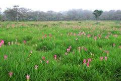 Siam tulip field on Chai Ya Phoom,Thailand Stock Images