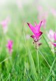 Siam Tulip field, Curcuma alismatifolia flower Royalty Free Stock Images
