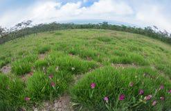 Siam Tulip field, Curcuma alismatifolia flower Royalty Free Stock Photo