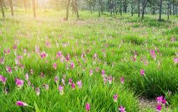 Siam Tulip field, Curcuma alismatifolia flower Stock Image