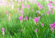 Siam Tulip field, Curcuma alismatifolia flower. Royalty Free Stock Photo