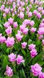 Siam Tulip field Stock Images