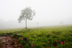 Siam Tulip field with lonely tree Royalty Free Stock Photos