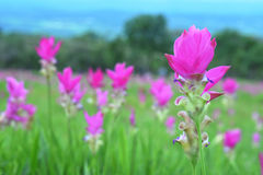 Siam Tulip in field. Pink Siam Tulip are in a beautiful field Stock Photos