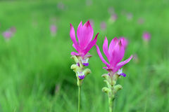 Siam Tulip in field. Pink Siam Tulip are in a beautiful field stock image