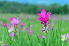 Siam Tulip in field. Pink Siam Tulip are in a beautiful field Stock Photography