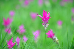 Siam Tulip in field. Pink Siam Tulip are in a beautiful field Royalty Free Stock Photography