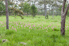 Siam tulip field on the top of hill. Royalty Free Stock Photos