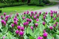 Siam Tulip fleurissant dans le jardin Photo stock