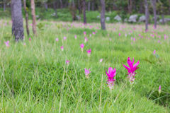 Siam Tulip Flower Stockbild