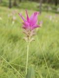 Siam Tulip Flower fotografia stock libera da diritti