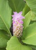 Siam Tulip Flower immagine stock
