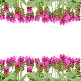 Siam Tulip Flower fotos de stock