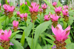 Tulip Flower. Siam Tulip Flower Stock Photography