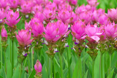 Siam tulip Royalty Free Stock Image