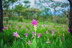 Siam Tulip Flower Blossom no parque nacional do Pa Hin Ngam em Chaiy imagem de stock royalty free