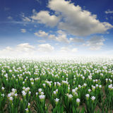 Siam tulip flower and blue sky Stock Photo