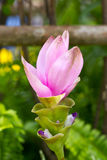 Siam Tulip Flower. Royalty Free Stock Photography