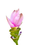 Siam Tulip Flower. Royalty Free Stock Image