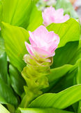 Siam tulip flower or Curcuma alismatifolia Stock Photo