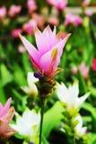 Siam tulip flower in garden Stock Photo