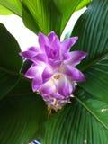 Siam tulip Stock Image