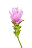 Siam tulip flower isolated Royalty Free Stock Photography