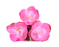 Siam tulip flower isolated on white background Royalty Free Stock Photos