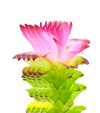 Siam tulip flower Stock Image