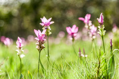 Siam tulip. Flower pink blossom stock photos