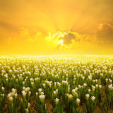 Siam tulip flower and Sunset: Gardens in the moring. Siam tulip flower and Sunset Stock Photography