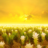 Siam tulip flower and Sunset in Thailand Stock Photography