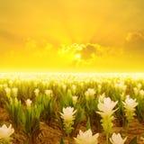 Siam tulip flower and Sunset in Thailand. Siam tulip flower and Sunset Stock Photography