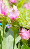 Siam Tulip Flowers. Royalty Free Stock Photography