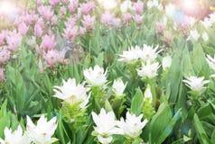 Siam tulip flowers Stock Image