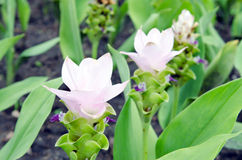Siam Tulip flowers in the garden Stock Photos
