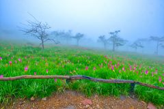 Siam Tulip flowers on the ground Royalty Free Stock Images