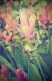 Siam Tulip Flowers tappningstil Arkivbild