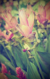Siam Tulip Flowers vintage style Stock Photography